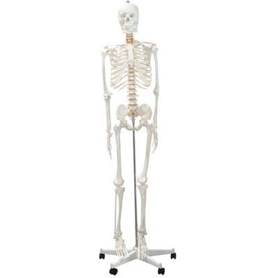 """Skeleton Model, Full - 66"""""""
