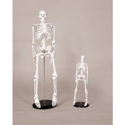 "Skeleton Model, Medium - 33-1/2"""