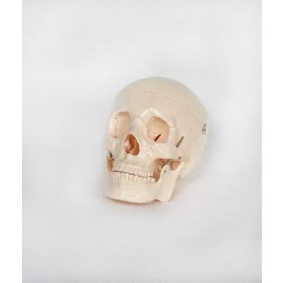 """Skeleton Model, Adult Skull - 19-1/2"""" circ."""